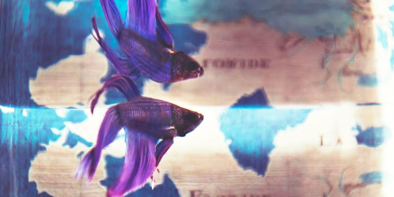 betta fish habituation experiment for STEM project